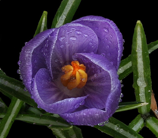 Early crocus after morning rain