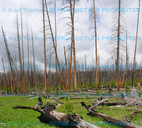 Burnt trees from the Great Fire of 1988 <br /> ©  2009 Karl Tepfer