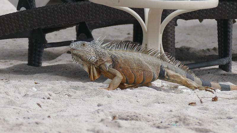 Iguana - 1