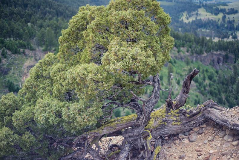 Mangled Tree 3