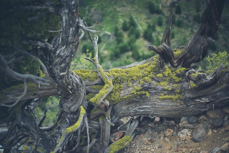 Mangled Tree 2