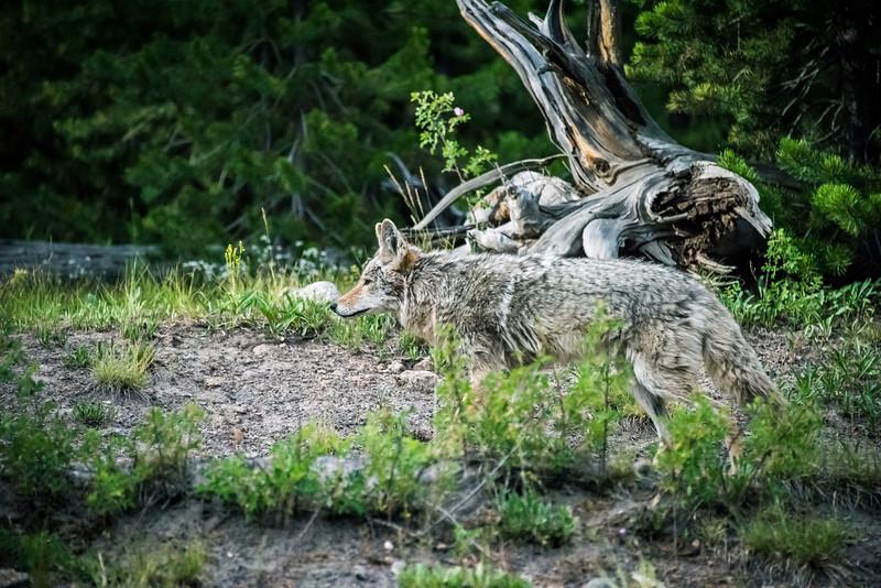 Coyotee 1