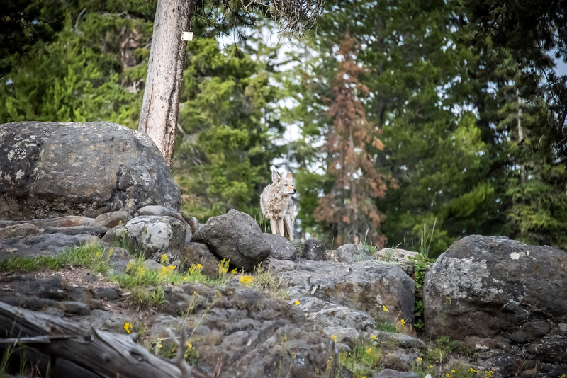 Coyotee 4