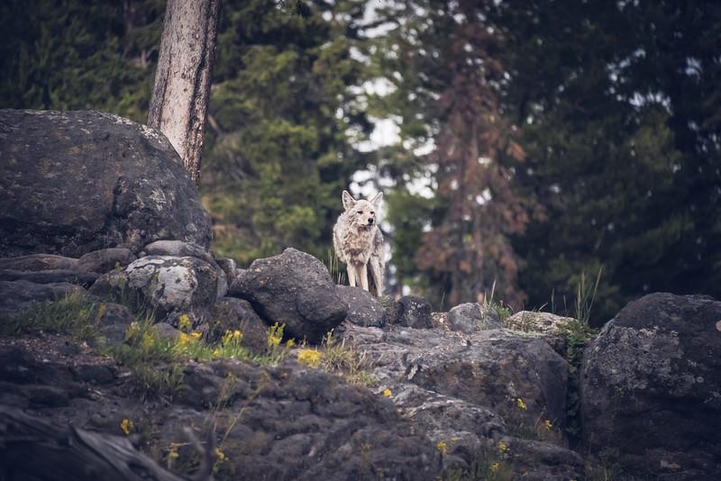 Coyotee 3