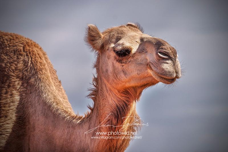 Australian feral camel (Camelus dromedarius)