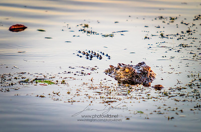 Freshwater crocodile (Crocodylus johnstonii)