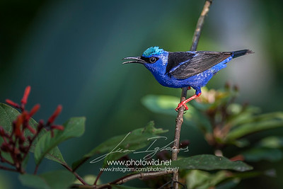 Breedind male of Red-legged Honeycreeper (Cyanerpes cyaneus)