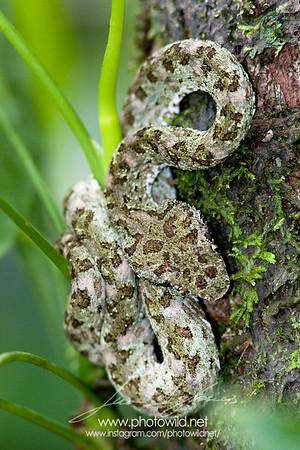 Palm-pitviper (Bothriechis)