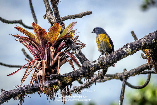 Black-and-yellow silk-flycatcher (Phainoptila melanoxantha)