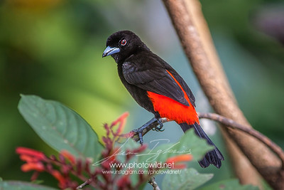 Male of Cherrie's Tanager (Ramphocelus costaricensis)
