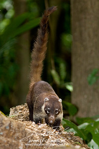 White-nosed coati (Nasua narica)