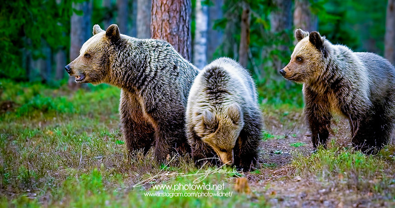 Brown bear and cubs (Ursus arctos)