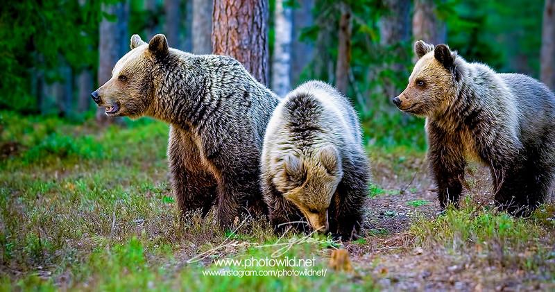 Brown bear and cubs (Ursus arctos)