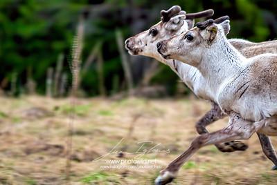 Reindeers (Rangifer tarandus)