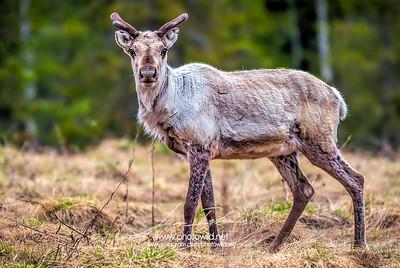 Reindeer (Rangifer tarandus)