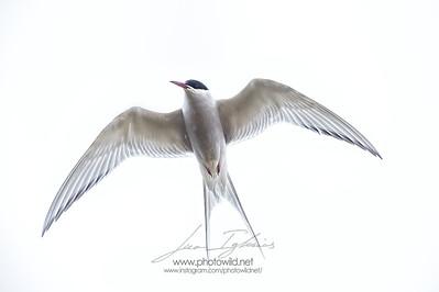 Artic tern (Sterna paradisea)