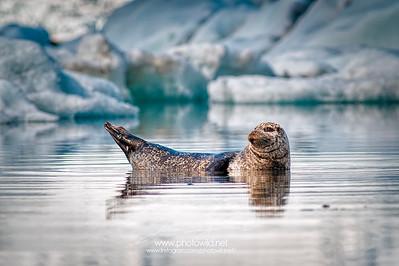 Seal in Jökulsárlón