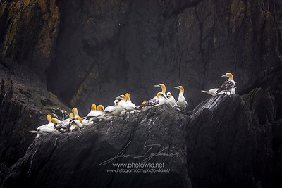 Colony of gannets (Morus bassanus)