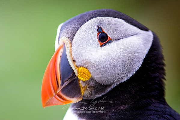Atlantic puffin (Fratercula artica)