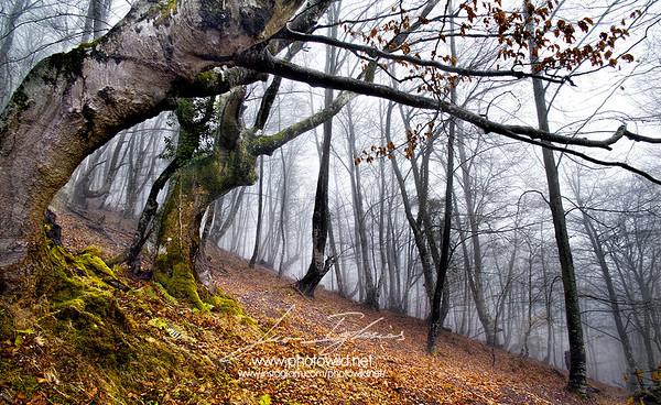 Beech forest and fog (Asturias)