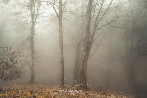 La Viescona beech forest (Asturias)