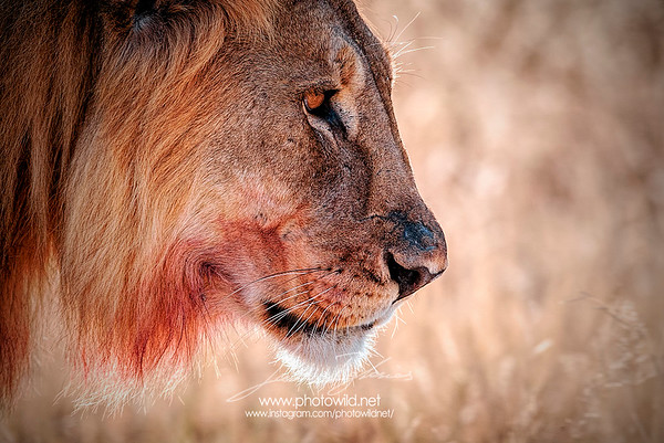 Lion (Pantera leo)