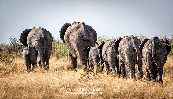 Herd of African elephants (Loxodonta africana)