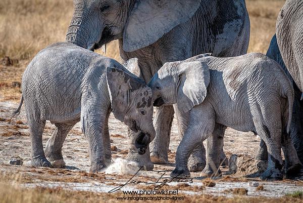 Young of African elephants (Loxodonta africana)