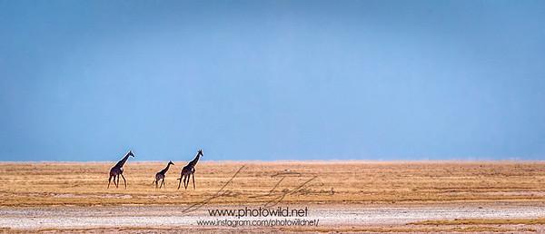 Giraffes in Etosha Pan (Giraffa camelopardalis)