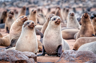 Cape fur seals (Arctocephalus pusillus pusillus)