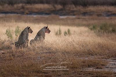 Lioness (Pantera leo)