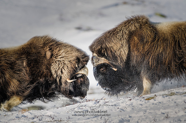 Muskox (Ovibos moschatus) fighting
