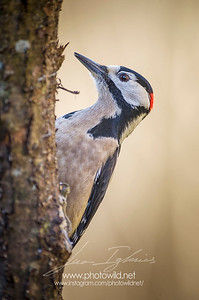 Male of Great spotted woodpecker (Dendrocopos major)
