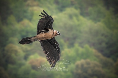 Bearded vulture (Gypaetus barbatus) or lammergeier
