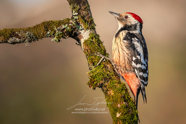 Middle Spotted Woodpecker (Dendrocopus medius)