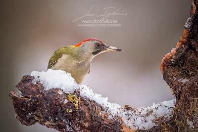 Female of European green woodpecker (Picus viridis)