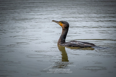 Great cormorant (Palacrocorax carbo)