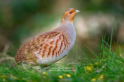 Grey partridge (Perdix perdix)