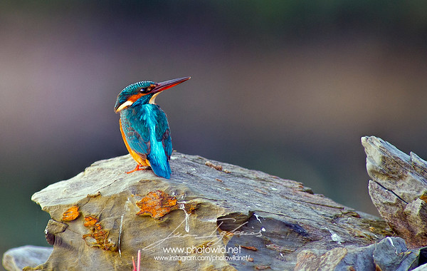 Common kingfisher (Alcedo atthis)
