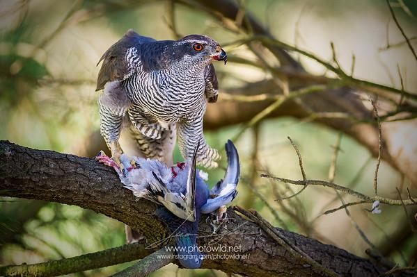 Goshawk (Accipiter gentilis)