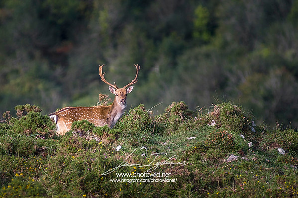 Fallow-deer (Dama dama) in the Sueve Mountains