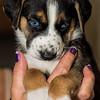 puppies_179tndc