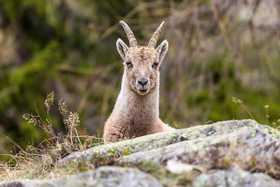 2017-04-15 Ibex Alpini 1-11