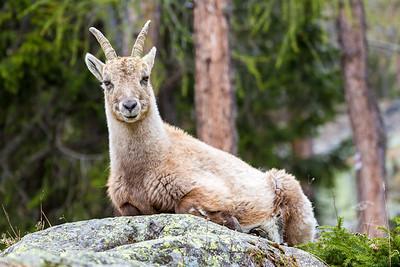 2017-04-15 Ibex Alpini 1-68