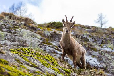 2017-04-16 Ibex Alpini 2-107