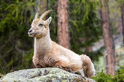 2017-04-15 Ibex Alpini 1-69