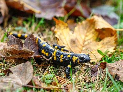 Fire Salamander 5