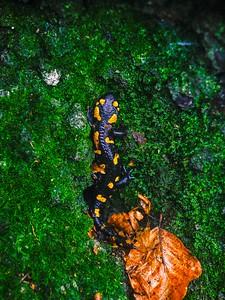Fire Salamander 2