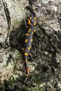 Fire Salamander 1