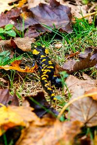 Fire Salamander 4